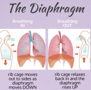 The role of the diaphragm